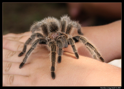 Friendly Tarantula