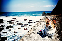 undulated (moaan) Tags: ocean blue sea dog digital point corgi pacificocean utata cape welshcorgi 2010 horizen promontory  21mm  superangulon rd1s f34 pochiko epsonrd1s leicasuperangulon21mmf34  gettyimagesjapanq1 gettyimagesjapanq2