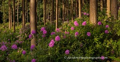 Bere Wood, Dorset - Rhododendrons (2) (David Crosbie) Tags: