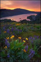 Rowena Flowers (Sean Bagshaw) Tags: morning flowers yellow vertical oregon sunrise dawn early colorful wildflowers 2009 paintbrush risingsun columbiarivergorge rowena balsamroot tommccallpreserve