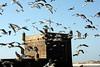 Essaouirra (marfis75) Tags: africa travel sea vacation bird beach birds sand desert seagull gull cc morocco maroc creativecommons medina afrika vögel turm möwen marokko wüste mauer reise gills küste festung marroko essaouirra almaghrib marokkoreise südmarokko marfis75 marfis75onflickr المغرب marroko3 marokkoerleben