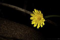 A Touch of Rusticity (Gigio Schwarz) Tags: flower color macro luz nature colors yellow closeup canon cores eos rebel petals rust close natureza flor rusty sigma amarelo stamen wildflower ferrugem ferro pétalas 500d rusticity 18250 18250mm t1i sigma18250mmf3563dcoshsm