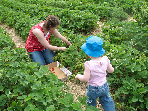 Picking Strawberries 8