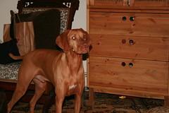 4 June 2007 (Boston_Exposures) Tags: birthday dog 3 canon eos rebel three friend vizsla visit dslr 3years 3yearsold 3yrsold threeyearsold osker 3yrs threeyears 060407 xti 4june2007 4june07 threeyrs