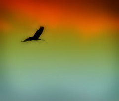 Sunset Flight (Little Laddie) Tags: sunset bird heron flight greatblueheron silouhette questfortherest colorphotoaward avianexcellence