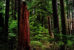 intheforest (ScarletFaerie (K. Wood Photography)) Tags: wood trees nature leaves forest washington woods rainforest olympicpeninsula trunk trunks enchanted orton naturesfinest blueribbonwinner superbmasterpiece betterthangood pfevergreen primevalforestgroups