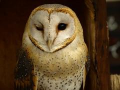 [フリー画像] [動物写真] [鳥類] [猛禽類] [梟/フクロウ] [メンフクロウ] [ウインク]     [フリー素材]