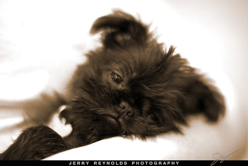 brussels griffon puppies + nd