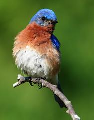Eastern Bluebird (Jim Petranka) Tags: birds bluebird eastern animalkingdomelite