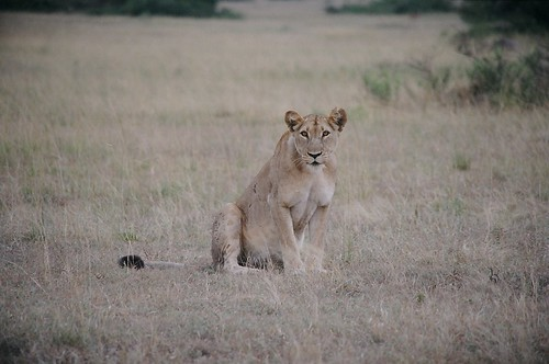 Uganda - QENP Female Lion  Found Us