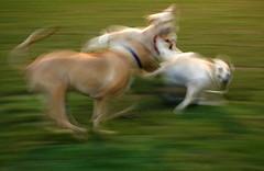 dogs (mrkubi) Tags: dog playing motion blur green dogs running thechallengegame challengegamewinner