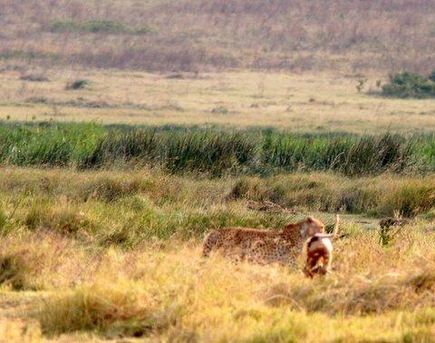 Cheetah with gazelle kill