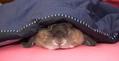 snuggled up (jade_c) Tags: pet rabbit bunny animal mammal singapore opal  hollandlop andora  lagomorph opalhollandlop