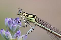 Demoiselle (JR Guillaumin) Tags: macro insect demoiselle damselfly insecte whiteleggeddamselfly platycnemispennipes pentaxk10d agrionlargespattes smcpdfa100mmf28 natureoutpost demoisellepattesblanches