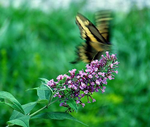 giant swallowtail 5