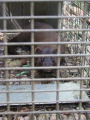 Bad mink 1
