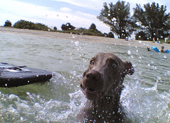 funny face maker playing in the ocean (saikiishiki) Tags: portrait dog funnyface playing love de geotagged happy grey funny play action gray weimaraner kawaii ft splash geotag  soto dogbeach fortdesoto  omoshiroi weim greyghost mukha  nokia6682 squidoo weimie fortdesotopark stpetersburgfl  dogfriendlybeach fortdesotodogbeach dogfriendlyflorida fortdesotopawplayground dogfriendlysaintpetersburg waimarana saikiishiki