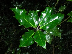 Holly in Luss (agnessa3) Tags: scotland holly luss