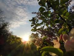 Sunset over Apple Tree (Alex Staniforth: Wildlife/Nature Photography) Tags: sunset sky flower tree alex apple garden casio staniforth exfh20