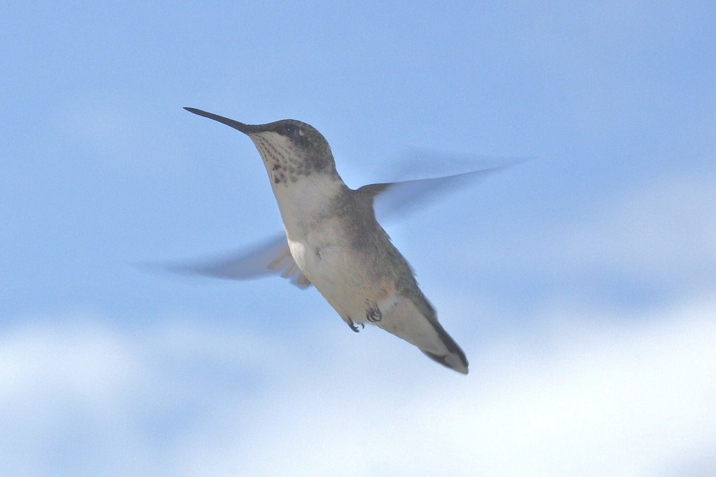 Ruby-throated hummingbird (1)
