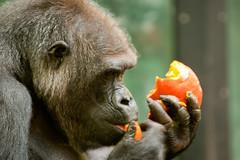 2010-11-07-11h31m21.272P0249 (A.J. Haverkamp) Tags: amsterdam dierentuin httpwwwartisnl artis thenetherlands gorilla pobrotterdamthenetherlands dob03061985 canonef70200mmf28lisusmlens kenkocaf14xtelepluspro300dgx zoo shindy sindy