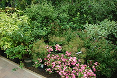 Shrubberies, Chelsea Garden Center