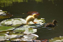 Duckling walking on the waterlily's (Mandy Verburg) Tags: baby bird animal duck waterlily duckling ducks ducklings 500 dier eend vogel eenden waterlilys waterlelie waterlelies thebiggestgroup babyeend