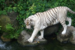 Bengal White Tiger (Keith Kerr - Currently In Europe!) Tags: white nature gold zoo amazing singapore perfect photographer wildlife picture talent tigers shield coolest bengal unforgettable soe bestofflickr watcher excellence the aclass naturesfinest blueribbonwinner parkstock supershot flickrsbest specnature spectacularnature singaporeflickrmeetup specanimal golddragon animalkingdomelite mywinners abigfave platinumphoto colorphotoaward aplusphoto amazingshots superbmasterpiece diamondclassphotographer flickrdiamond citrit ysplix searchandreward excellentphotographerawards onlythebestare ultimategold platinumheartaward coolestphotographers wonderfulworldmix betterthangood goldstaraward