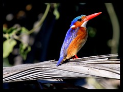 MALACHITE KINGFISHER  iN NXABEGA BOTSWANA AFRICA (electra-cute) Tags: winners malachitekingfisher alcedocristata outstandingshots mywinners outstandingshot wowiekazowie