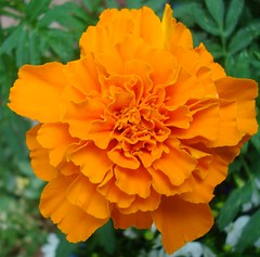 Marigold Magic! (Bluebird0927 (ON/OFF)) Tags: flowers orange marigolds supershot picturepages