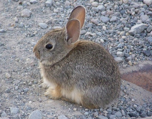 Baby cottontail rabbit - photo#6