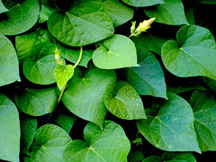 Green Hearts Of the Summer. (AmirBayat) Tags: green heart
