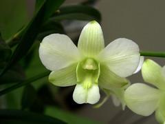 Denphal (barbatum) Tags: orchid dendrobium orqudea dendrobiumphalaenopsis denphal