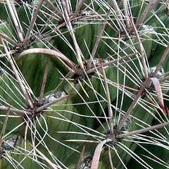 Fishhook Barrel Cactus (pellaea) Tags: cactus barrel fishhook ferocactus wislizenii