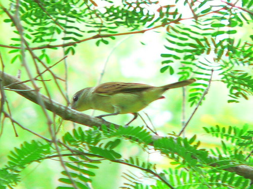 Green-backed Becard by Charles Hesse.