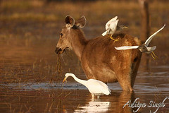 Sambar and birds in water (dickysingh) Tags: wild india nature outdoor wildlife aditya ungulate ranthambore singh artphoto ranthambhore dicky sambardeer specnature kuwaitphoto ranthambhorebagh naturewatcher kuwaitartphoto adityasingh dickysingh ranthamborebagh kuwaitart deergrazinginwater theranthambhorebagh