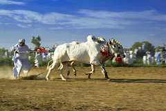 Racing bulls (KamiSyed.) Tags: wedding pakistan bulls punjab punjabi islamabad weddingphotographer rawalpindi taxila weddingphotography expore studio9 weddingphotographs weddingpix kamisyed kamransafdar chinak pothwar racingbulls