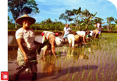 Mesem Sik Nggih, Bu ? ? ? (Ministry of Leisure) Tags: jogja farmer yogyakarta ricefield sawah sleman