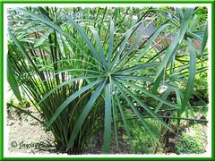 Cyperus involucratus (Umbrella Plant), seen around Kuala Lumpur