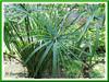 Cyperus involucratus (Umbrella Plant, Umbrella Sedge, Umbrella Flatsedge, Umbrella Grass, Umbrella Papyrus, Galingale)