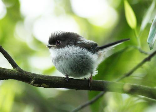 Chapim-rabilongo juvenil (Aegithalos caudatus)