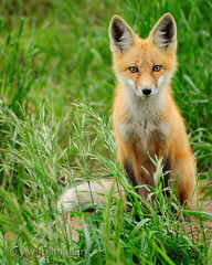 Red Fox (Vulpes vulpes) (johnfuj) Tags: canada nature ecology animal animals scenery wildlife alberta fox land northamerica beast environment saskatchewan creatures creature mammals environmentalism grasslands beasts ecosystem zoology westerncanada prairieprovinces canadianprairies undomesticatedanimals