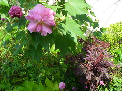 Hibiscus mutabilis (in bloom) and Hibiscus acetosella 'Red Shield' foliage (pawightm (Patricia)) Tags: austin texas mallow malvaceae texashillcountry centraltexas confederaterose autumngarden hibiscusmutabilis mixedborder backyardborder bloomingshrubs falseroselle octoberblooms pawightm hibiscusacetosellaredshield gomphrenafireworks fss852127 africanrosemallow