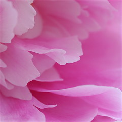 Essence of tutu! (cattycamehome) Tags: pink flowers summer music flower colour macro beauty june tag3 taggedout hearts moving petals dance insane bravo pretty tag2 waves tag1 heart dancing bright © peony petal fluid delicate tutu 2007 fushia excellence nietzche naturesfinest catherineingram flowerotica outstandingshots masterphotos june2007 abigfave cattycamehome allrightsreserved© superhearts