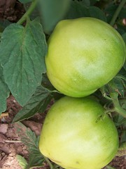 Unripe tomatoes (Palejewel84) Tags: green mybest floraandfauna mohrsville