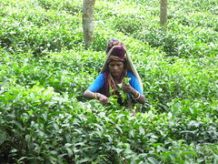Tea Plucker No.4 (Nubsy) Tags: tea bangladesh plantations srimongal