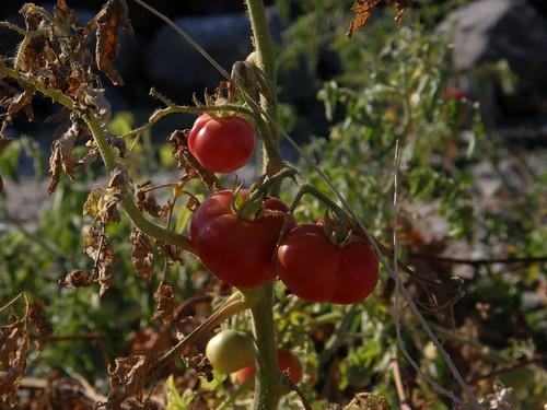 Santorini's Cherry Tomatoes