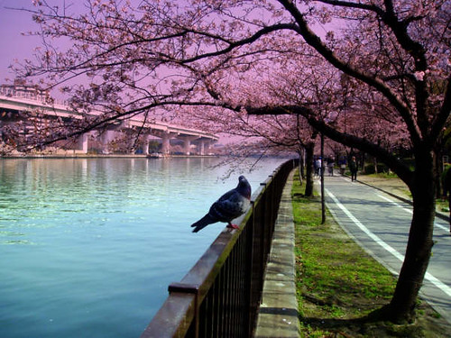Birds' love gathering at Osaka river, Osaka, Japan