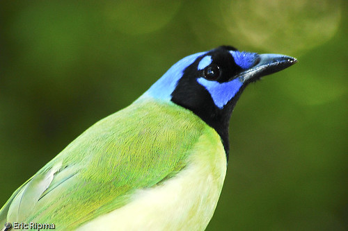 Green Jay by Eric Ripma