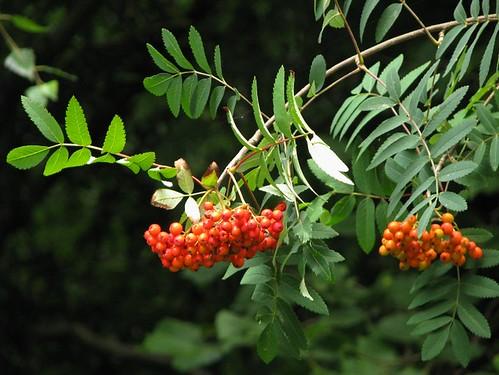 Scorusul - fructele